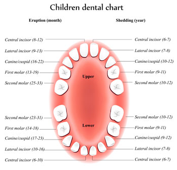 Pediatric Dentist - Tooth Eruption Chart